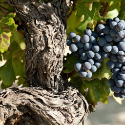 Old Vines…